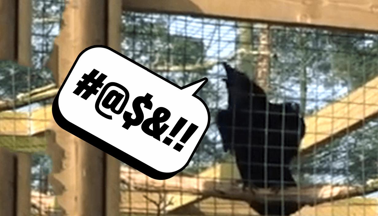 Raven screams 'arse' at tourists Picture: Mercury Press