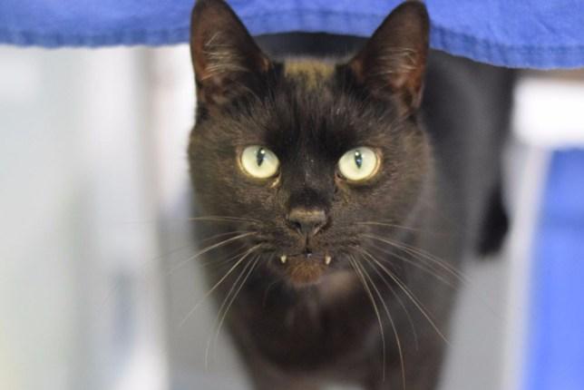 Rory vampire cat that needs adopting