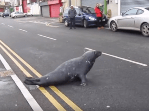 Seal crosses the road everyday to go to his favourite seafood restaurant