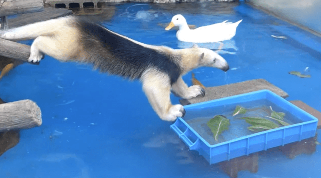 Anteater tries to steal food from ducks, regrets it