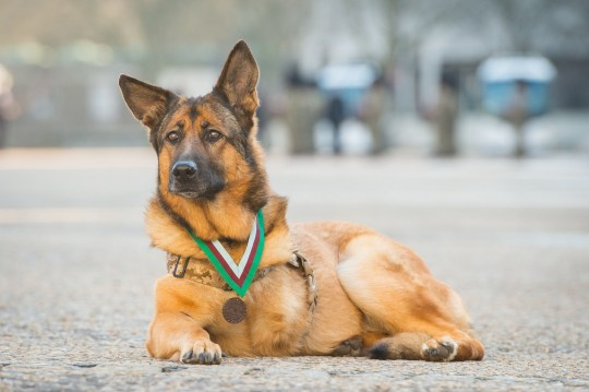 Retired US Marine Corps dog Lucca after she was awarded the PDSA Dickin Medal - the animal equivalent of the Victoria Cross - at a ceremony at Wellington Barracks in London. PRESS ASSOCIATION Photo. Picture date: Tuesday April 5, 2016. The 12 year old German Shepherd, who lost a leg while on duty, was honoured for protecting the lives of allied troops in Afghanistan and Iraq by searching for explosives. See PA story ANIMALS Hero. Photo credit should read: Dominic Lipinski/PA Wire