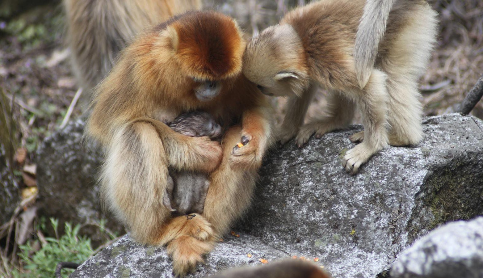"""***LInk back to this article: http://link.springer.com/article/10.1007/s11434-016-1008-z*** Monkeys rarely give birth during the day. The darkness of night gives them better protection from any predators that are lurking. As a result, monkey births in the wild have scarcely been observed. It was previously believed that they usually give birth alone. Now for the first time in several decades of observation, researchers have seen a wild golden snub-nosed monkey (Rhinopithecus roxellana) give birth during the day. That was not all. The monkey had a """"midwife"""", another female who was there to assist her during labour."""