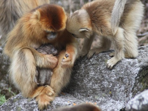 Mother monkeys give birth with help from 'midwives' too