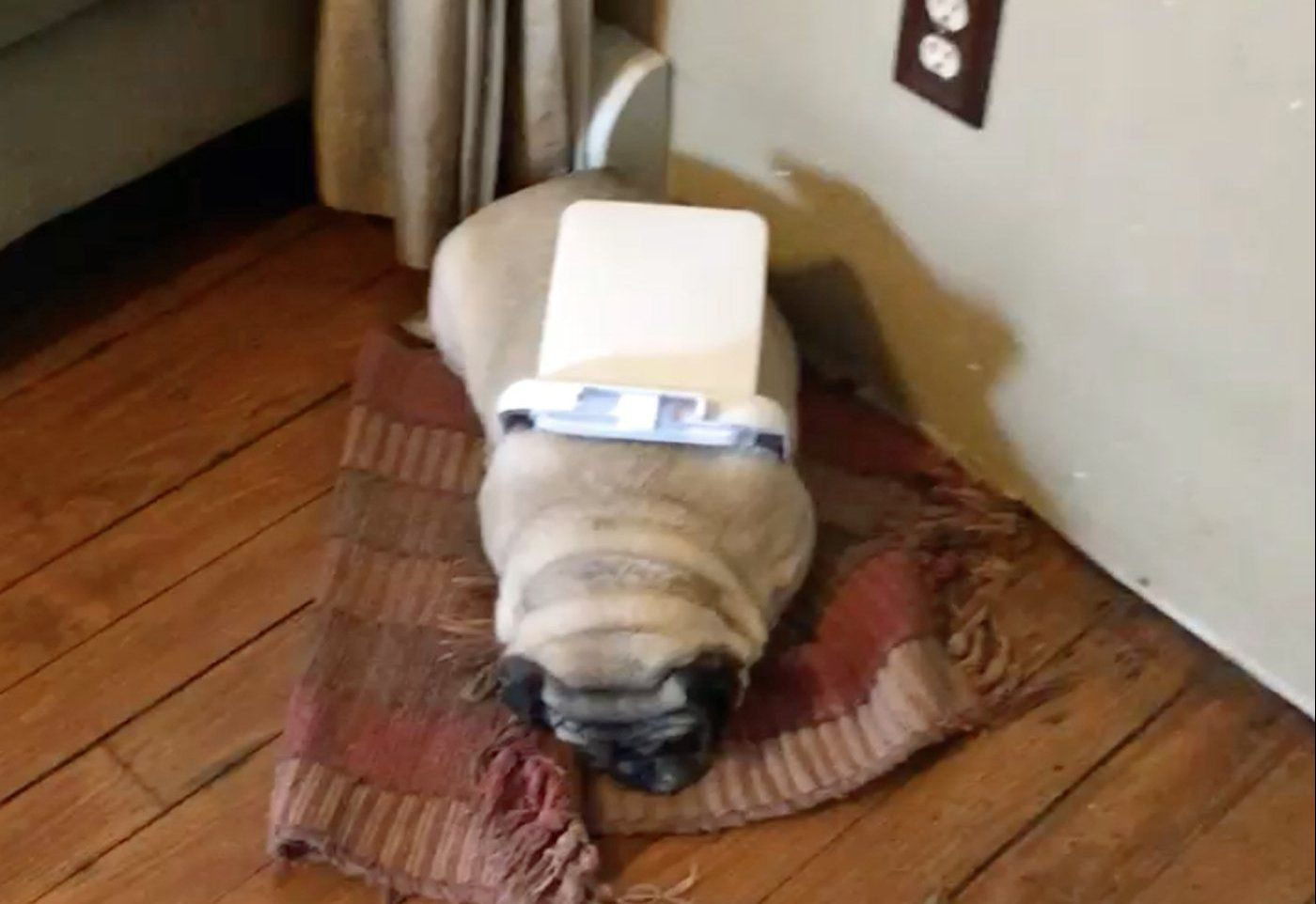 PIC BY JESSICA KOENIG / CATERS NEWS - (PICTURED: After being caught by her owners with the bin lid stuck around her body, Clementine the pug cant look them in the face as the guilt of the destruction she has made in the bathroom is too much.) - This is the hilarious moment a guilty pug stuck in a bin lid is caught after leaving a huge bathroom mess. When cheeky Clementine was found with her midriff trapped by the white plastic cover, she couldnt bear to look into the eyes of her owners. Returning home, Jessica Koenig and her partner were shocked to be faced with an overturned bin and toilet paper and rubbish left strewn past their toilet. With the lid wrapped around her body, the eight-year-old pooch was the clear suspect and can only roll onto her side when asked: What did you do? - SEE CATERS COPY