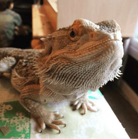 The 7 reptilian stars of Instagram to follow – from bearded