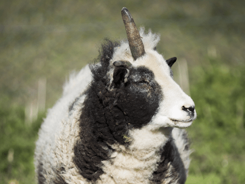 This adorable one-horned sheep is a real life ewenicorn