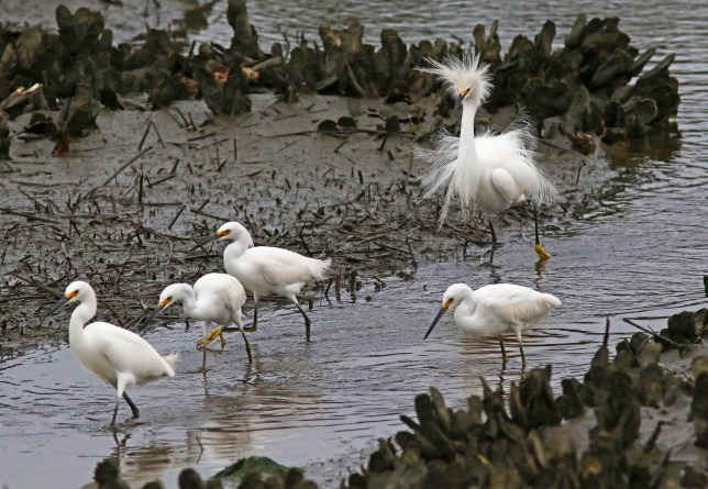PIC BY PHIL LANOU / CATERS NEWS - (PICTURED: A Snow Egret suffers a hair malfunction.) - Talk about a bad hair day! These are the hilarious pictures of a group of birds running away from a fellow feathered one with a seriously weird hairdo. The group of birds are quick to dash off as the frizzy snowy egret makes its way towards them - as if wanting to avoid being seen with him. Although he seems like a bit of an outsider with crazy feathers framing his face and covering his body, hes actually the aggressor of the group. Snow egrets - which the photographer called perpetually aggravated - usually have one aggressor in a group who tends to be the largest male, who get fluffed up. - SEE CATERS COPY