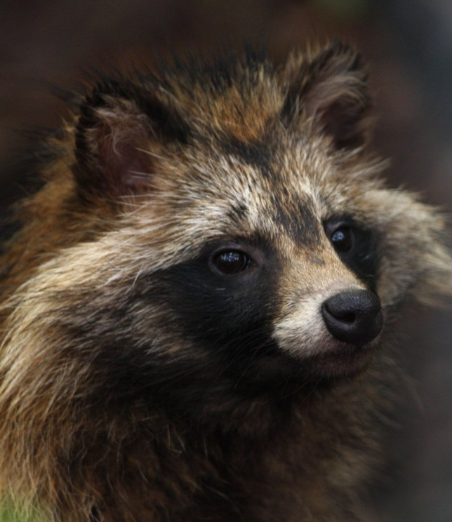 Raccoon dogs, aka 'Judas animals' are being culled in Sweden
