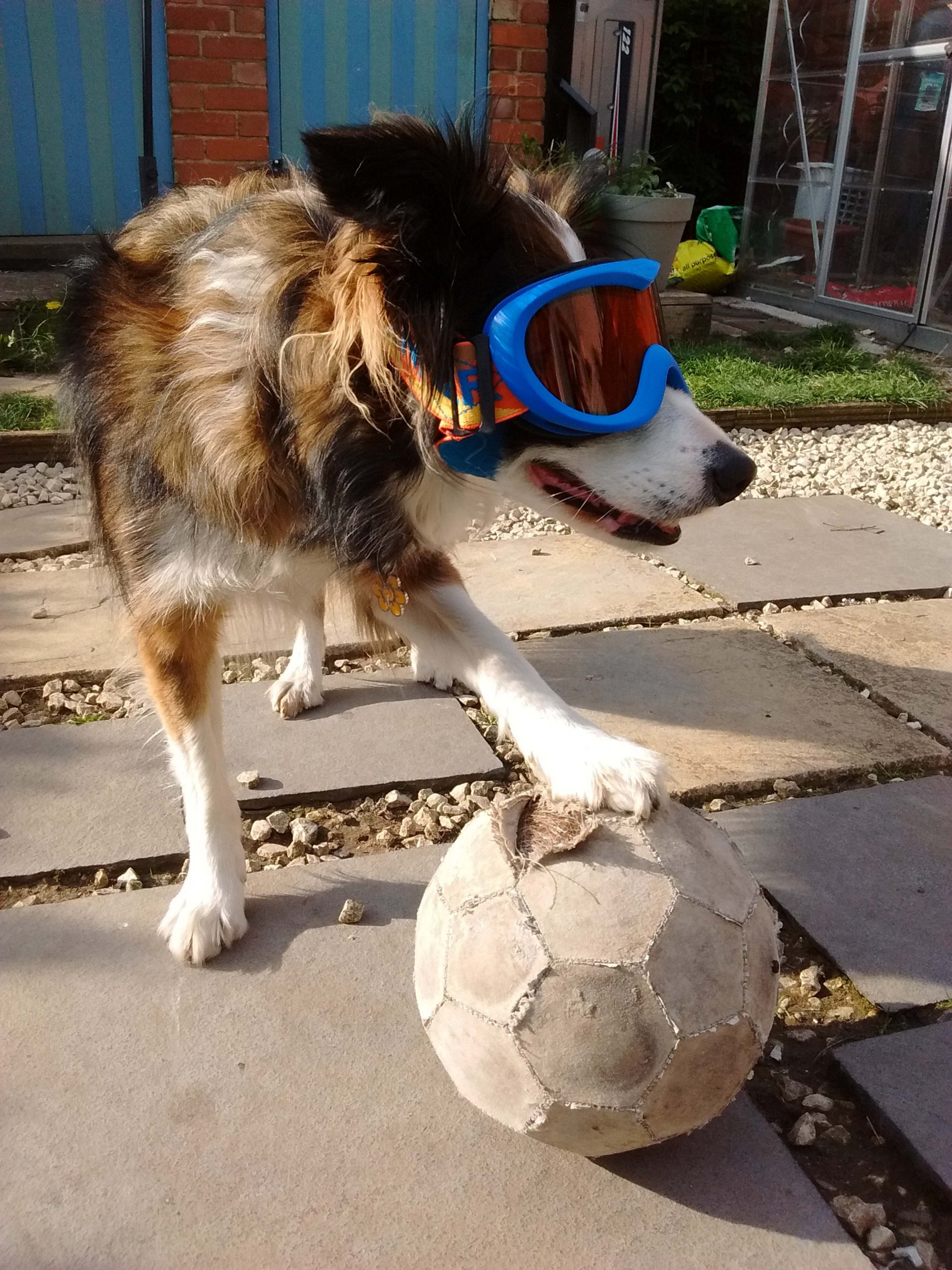 Sheepdog has eye condition, styles it out with ski goggles
