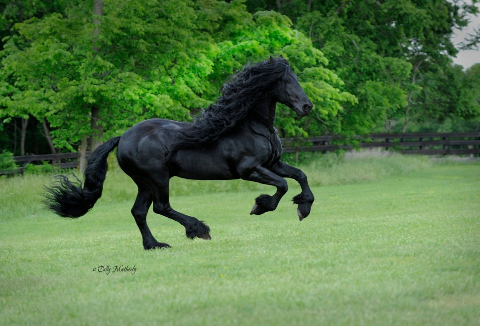 MUST INCLUDE CREDITS Frederik the Great, Friesian stallion, Owned by Pinnacle Friesians, Photography by Cally Matherly, Facebook link, https://www.facebook.com/frederikthegreatfriesianstallion/ YOUTUBE channel: https://www.youtube.com/channel/UCtakNqD_ojWs6FxRZ6jUZzg , Website www.pinnaclefriesians.com Permission to use attached images of Frederik the Great, Friesian Stallion on Daily Mail newspaper website in Australia for the article published by Daily Mail using the above credits to apply to this article only.