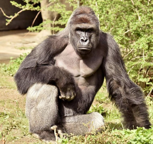 #JusticeForHarambe. Harambe, a 17-year-old gorilla at the Cincinnati Zoo is pictured in this undated handout photo provided by Cincinnati Zoo. REUTERS/Cincinnati Zoo/Handout via ReutersATTENTION EDITORS - THIS PICTURE WAS PROVIDED BY A THIRD PARTY. REUTERS IS UNABLE TO INDEPENDENTLY VERIFY THE AUTHENTICITY, CONTENT, LOCATION OR DATE OF THIS IMAGE. THIS PICTURE IS DISTRIBUTED EXACTLY AS RECEIVED BY REUTERS, AS A SERVICE TO CLIENTS. FOR EDITORIAL USE ONLY. NO RESALES. NO ARCHIVES. TPX IMAGES OF THE DAY