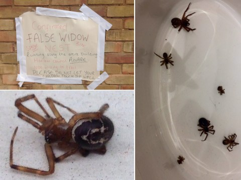 Nice try, but Brexit can't save you from these 50p-size venomous spiders