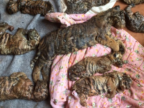 Police find 40 dead tiger cubs stuffed in freezer in 'tiger selfie' temple