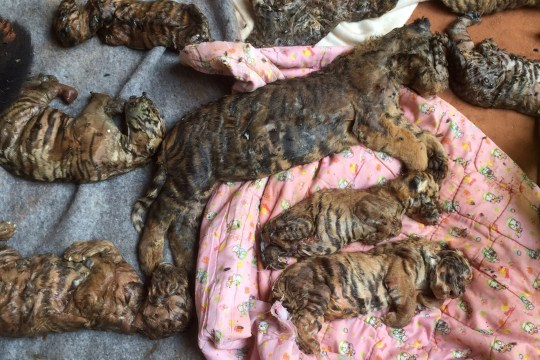 40 dead tiger cubs found in freezer at Buddhist temple