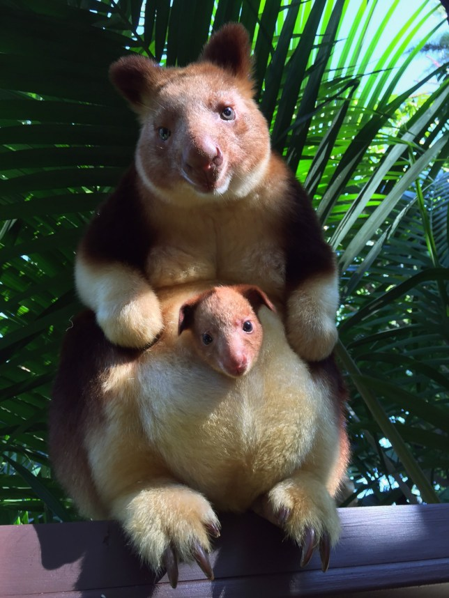 PIC FROM PERTH ZOO/ CATERS NEWS - A zoo is celebrating the birth of a rare tree kangaroo for the first time in 36 years. Perth Zoo, in Western Australia, has welcome the adorable endangered Goodfellows tree kangaroo joey this month. As these pictures show the cute critter has made an appearance for the first time poking his head out from mums pouch. He was born the size of a jellybean six months ago but has only now treated keepers and visitors to an appearance. SEE CATERS COPY