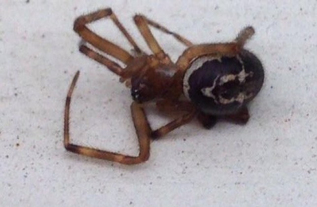 Black Widow spiders found at the home of Toni Trevillion in Harlow, Essex. See Masons copy MNSPIDERS: Families are on high alert following an infestation of venomous spiders. Thousands of false widows are running loose after hundreds of eggs hatched on the streets of Harlow, Essex. The 50p-sized critters are the most lethal of the UK's 12 species and have in the past left victims fighting for their lives. Parents have been warned not to let their children touch the spiders as they may bite, and can trigger allergic reactions causing chest pain, swelling and nausea.