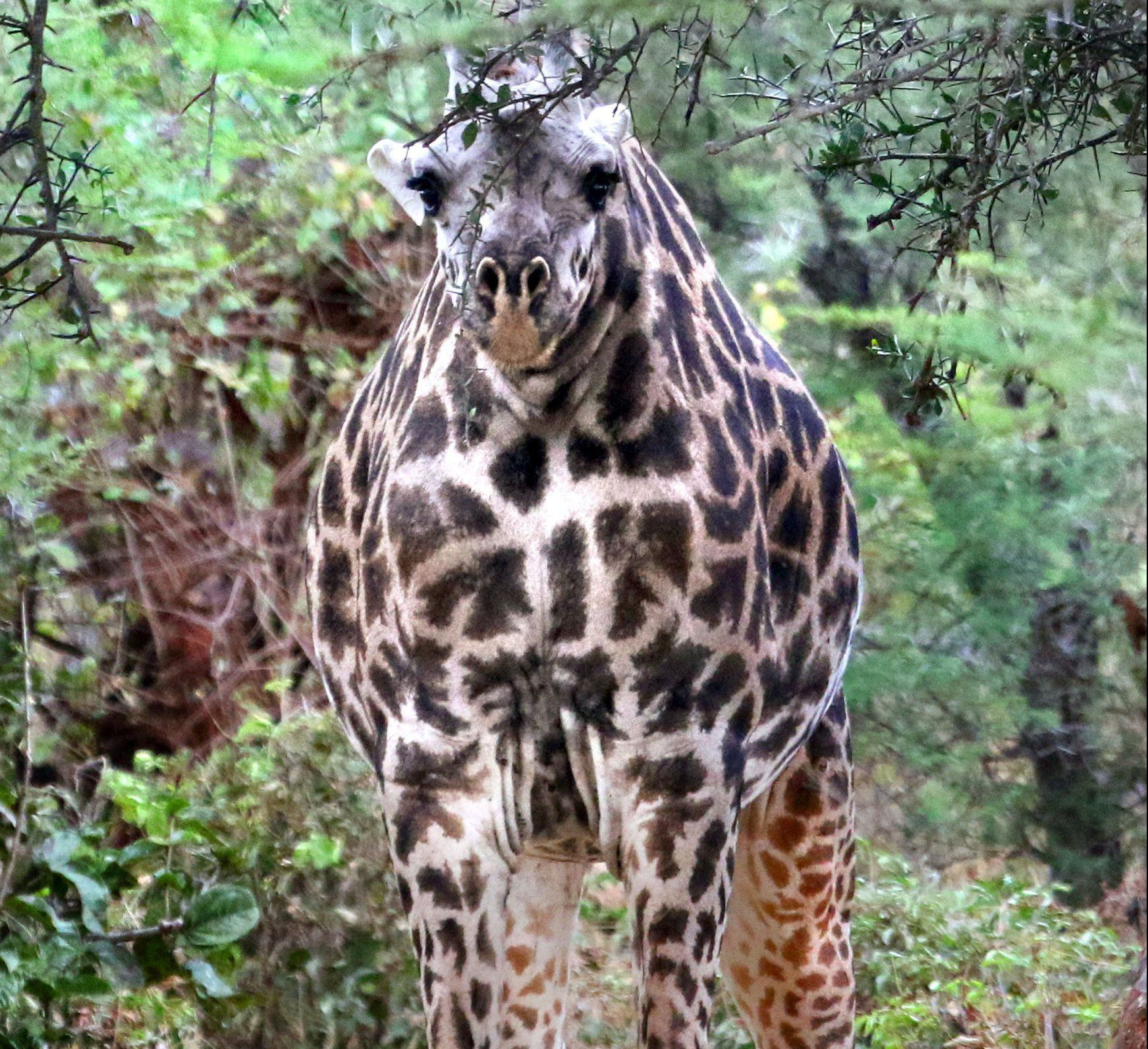 Cheeky giraffe can't wind her neck in because she doesn't appear to have one