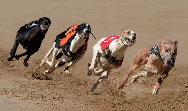 A7HXYA Greyhound racing. Image shot 2004. Exact date unknown.