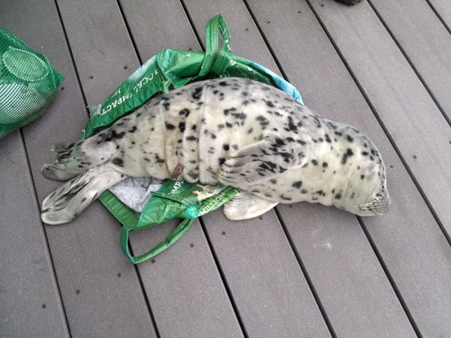 In this May 21, 2016, photo provided by the Westport Aquarium, a baby seal is seen laying across a shopping tote used to carry it off a beach in Westport, Wash. State wildlife officials had to euthanize the harbor seal pup after it was determined to be unresponsive and lethargic. As harbor seals are being born in the Pacific Northwest this time of year, marine mammal advocates are urging people not to touch or pick up pups that come up on beaches and shorelines to rest. At least five times this season, well-meaning people have illegally picked up seal pups in Oregon and Washington thinking they were abandoned or needed help, but that interference ultimately resulted in two deaths, said Michael Milstein, a spokesman with the National Oceanic and Atmospheric Administration. (Marc Myrsell/Westport Aquarium via AP)
