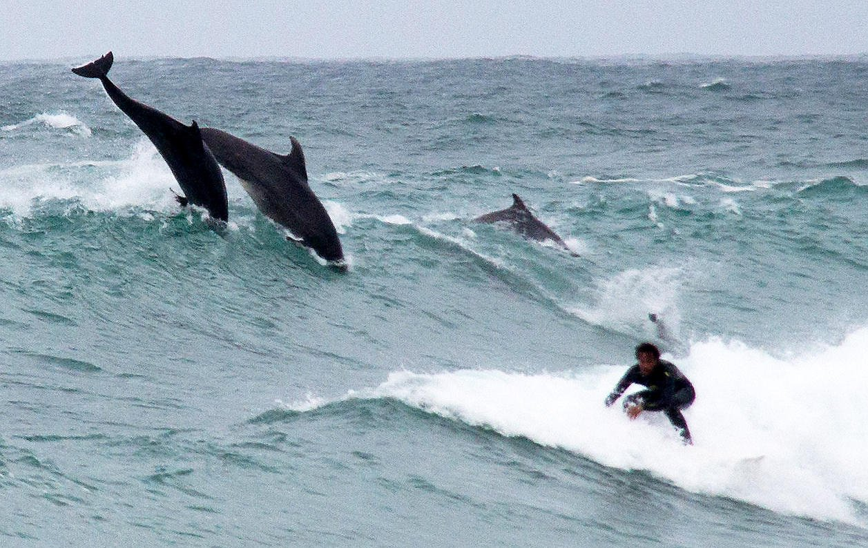 "Karen O'Dellís stunning photo of a pod of dolphins leaping through a wave near St Ives while following a surfer. See SWNS story SWDOLPHIN: This amazing photo was taken by Karen O'Dell Photography at Porthmeor beach St Ives, Cornwall, on Saturday. Karen said: ""So.. Surf Life Saving was cancelled and we were still sat on the beach (in the rain!) watching the children playing in the sea!! Worth it though, as a lovely pod of dolphins came to see us and even put on a show!"""