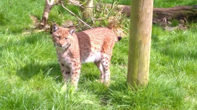An escaped Lynx released by Dartmoor Zoo on their twitter. Dartmoor Zoo, Devon. See SWNS story SWLYNX; A lynx is on the loose in the English countryside after digging its way out of its new zoo enclosure. The animal had only been delivered to Dartmoor Zoo near Plymouth, Devon, the night before it disappeared. Staff discovered it was missing when they checked to see how it was settling into its new home yesterday (Thur). Thirty staff and volunteers extensively searched the 33-acre zoo's grounds and concluded it had managed to escape.