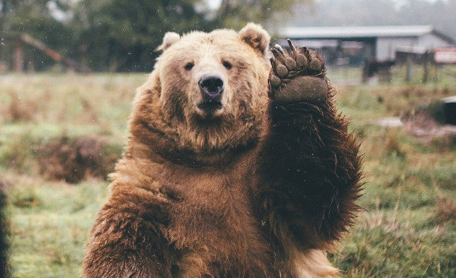"A photographer who was heading home from a weekend of camping was stunned when he waved goodbye to a bear - and it waved back. The bear was sat on the grass and lifted his paw to say goodbye waving goodbye as Dylan Furst passed him in a car. Dylan, 25, had spent the weekend camping at a national park which is also home to bears. As he was leaving, the Jeep Patriot SUV he was travelling in passed by the large kodiak bear so Dylan said ""goodbye bear"" and waved at it. © Dylan Furst/Solent News & Photo Agency UK +44 (0) 2380 458800"