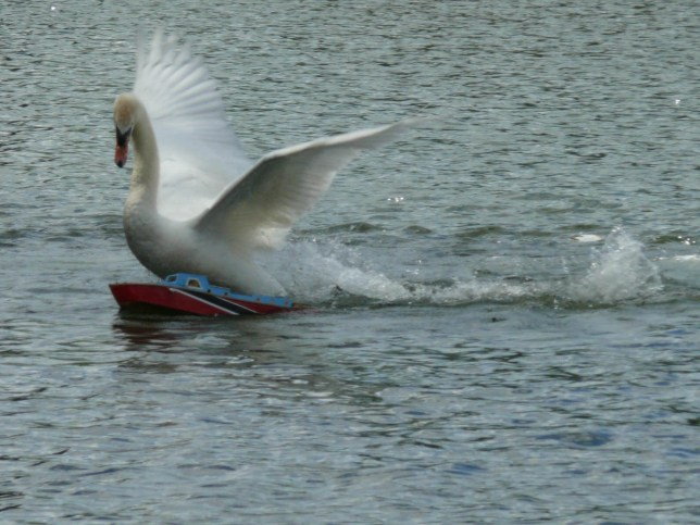 A THUG mute swan has smashed up EIGHT model boats worth up to £15,000 each on a popular lake...The fire-spitting aggressive male bird has carried out a stunning reign of terror at the tourist hotspot over the last few weeks...And the powerful beast has even beaten up ducks and geese who have dared to move in on his stretch of water at Needham Lake, near Needham Market, Suffolk...HMS Dreadnought - the swan sinks another expensive model boat.