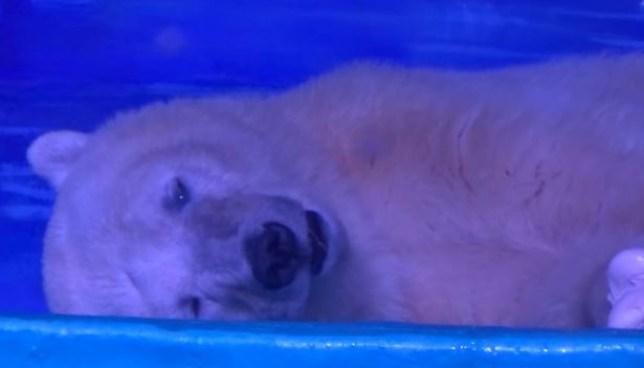 This is the world's saddest polar bear