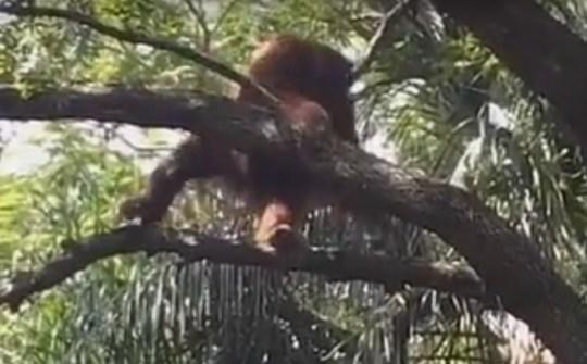 The orangutan was shot with a tranquiliser dart (Picture: YouTube/McLol01)