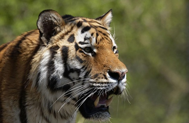 Mandatory Credit: Photo by Paul Mayall/imageBROKER/REX/Shutterstock (5676499a) Indian Tiger (Panthera tigris), portrait, captive VARIOUS