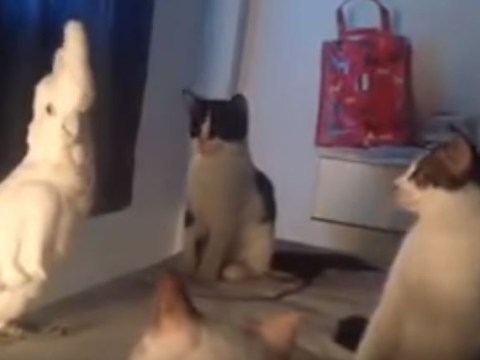 It turns out parrots do cat impressions too