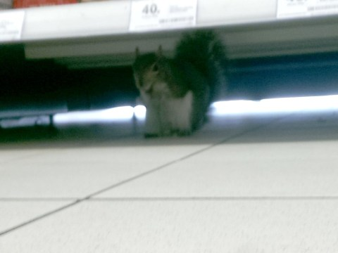 A cheeky squirrel caused havoc in Tesco