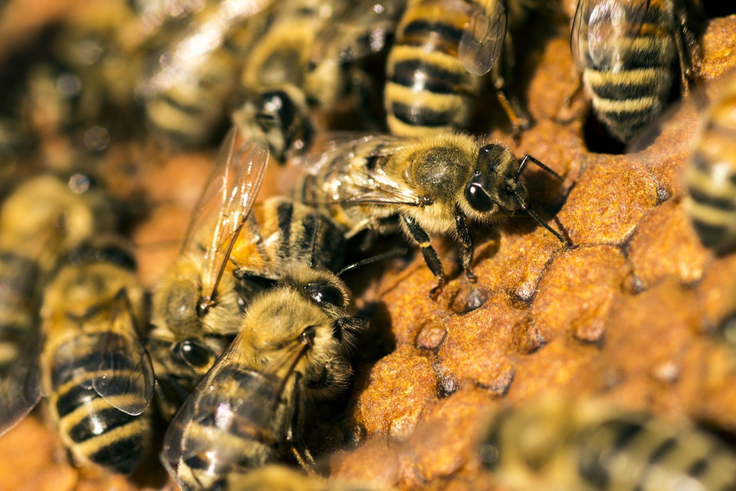 Bees tending their brood.