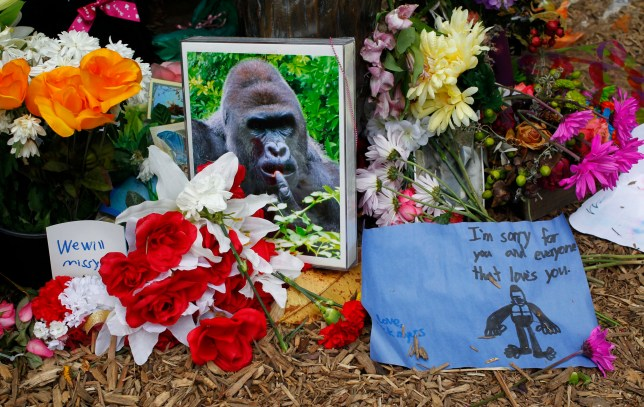 #Harambe: Beloved, noble gorilla is beating the Green Party in US elections