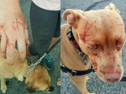 Cat goes nuts and attacks seven pit bulls and dog owner