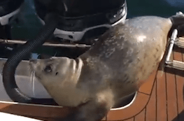 Seal jumps in boat to escape from killer whale