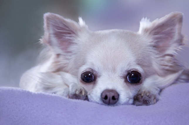 Tired long hair chihuahua dog lying with head between paws, about to fall asleep. Credit: Getty Images