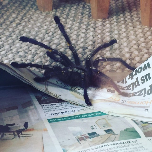 """Horrified mum Lyndsey Herlihy, 32, became """"hysterical"""" when she spotted a seven-inch TARANTULA in her bungalow in Ruislip, west London, on Saturday (August 13). The Spider was taken away later by exotic pet shop!"""