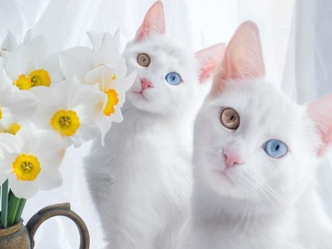 These twin cats might be the prettiest pets on the internet