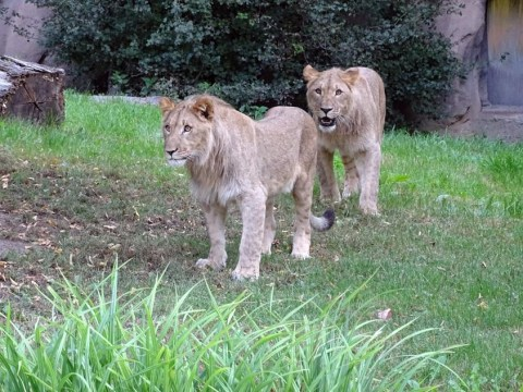 One lion sedated and one captured following search for pair who escaped zoo enclosure