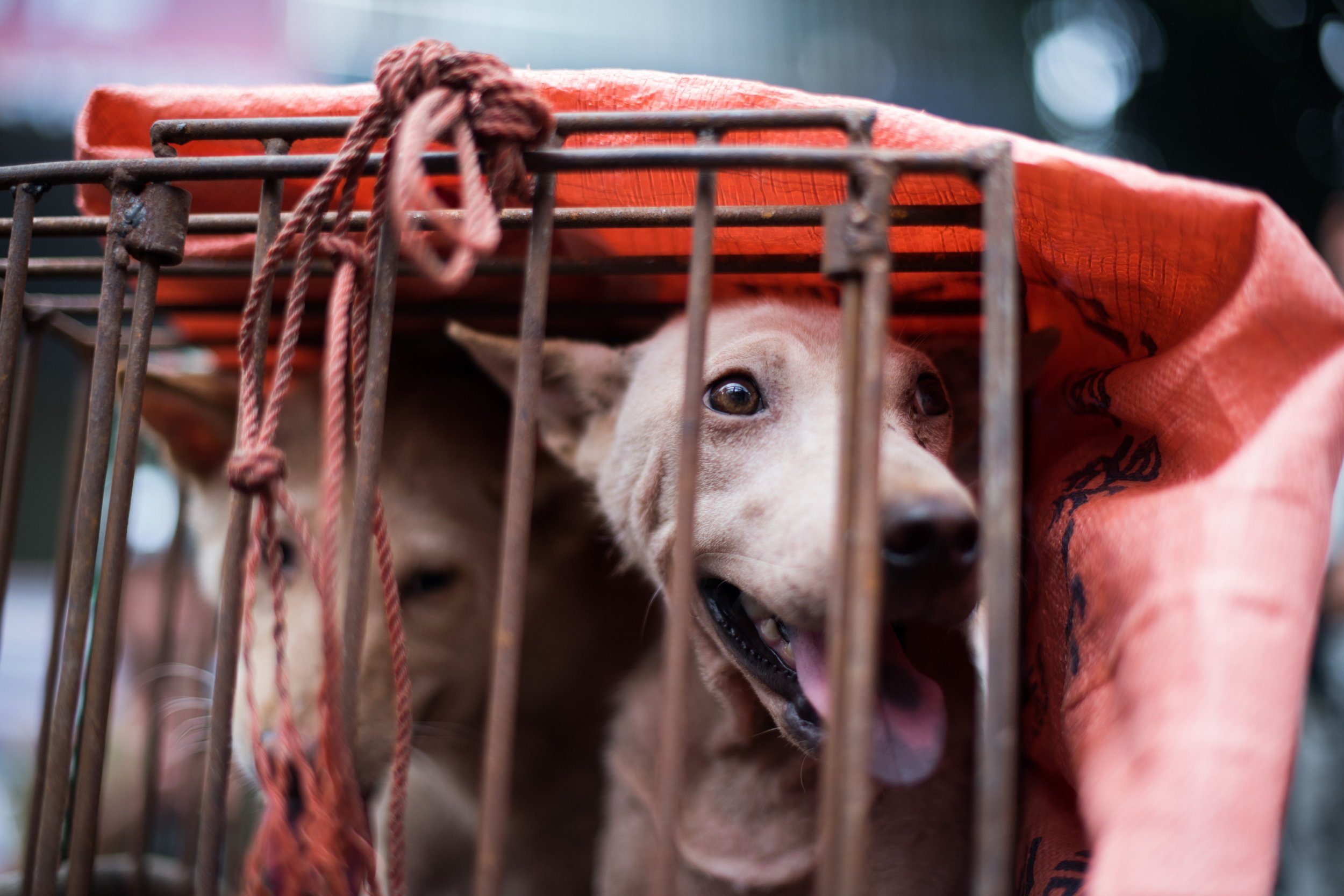 A dog looks out from its cage at a stall as it is displayed by a vendor as he waits for customers during a dog meat festival at a market in Yulin, in southern China's Guangin Yulin, in southern China's Guangxi province on June 22, 2015. The city holds an annual festival devoted to the animal's meat on the summer solstice which has provoked an increasing backlash from animal protection activists. AFP PHOTO / JOHANNES EISELE (Photo credit should read JOHANNES EISELE/AFP/Getty Images)