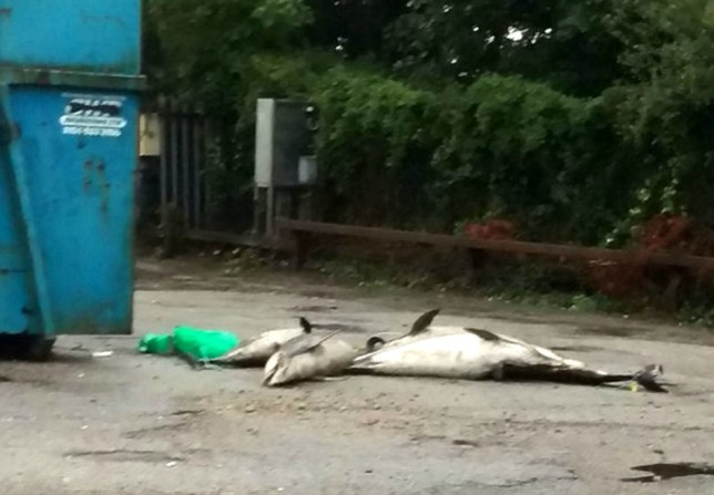 """Residents of a seaside village are fuming after these dead porpoises washed up on British beaches were left to rot at at a council rubbish tip. See SWNS story SWPORPOISE: Shocking photos show the animals' carcasses near bins at a recycling centre. They are believed to have washed up on Cornish beaches in recent storms. Ryan George, who spotted them at a depot in St Erth, Cornwall, said the animals had been """"lying around"""" for days, leading to rats and birds flocking to eat the remains. He said: """"This is so wrong."""