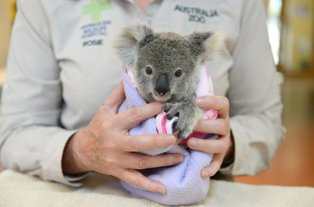 CREDIT: Ben Beaden/Australia Zoo/Rex Shutterstock. Editorial use only Mandatory Credit: Photo by Ben Beaden/Australia Zoo/REX/Shutterstock (5899297b) Shayne the koala joey were hit by a car. The mother died Australia Zoo Wildlife Hospital prepares for yearly admission peak, Beerwah, Queensland, Australia - 19 Sep 2016 FULL WORDS: http://www.rexfeatures.com/nanolink/sqkf Clinging to a plush toy in the absence of his mum, Shayne the koala joey is just one of the many innocent victims of this years Trauma Season; the busiest, most confronting time of year at the Australia Zoo Wildlife Hospital. Only 9 months old, Shayne was riding on his mums back at the time of the accident and was thrown off from the impact. Poor Shayne was left to fend for himself, and thats exactly what he tried to do. Shayne was found about 20 metres from his mum being chased by crows.