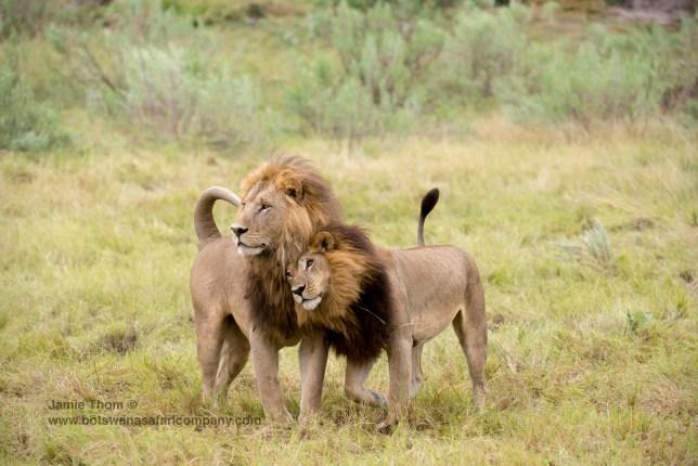 Transgender lions? Picture: Jamie Thom