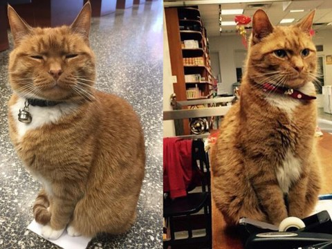 This ginger cat has spent 9 years running a store – and he's never taken a day off