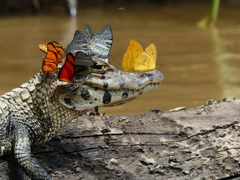 Sorry but this caiman's real butterfly crown is way better than your Snapchat one