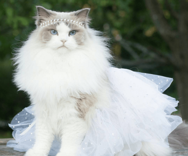 Aurora Purr is the most beautiful, fluffy princess cat on