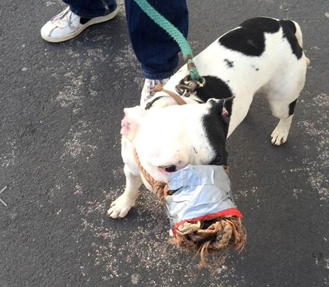 credit: Lesley Wickenden/Solent News. Shocking picture of a terrier-type dog being muzzled with duct tape and rope has sparked outrage amongst pet owners.nHorrified Lesley Wickenden, 44, spotted the animal outside a Lidl supermarket and quizzed its owner as to why his dog was muzzled in such a way.nThe man explained its usual muzzle was broken, and the dog had nearly bitten him, and that he needed a temporary fix.nSEE COPY FOR DETAILSn© Lesley Wickenden/Solent News & Photo AgencynUK +44 (0) 2380 458800