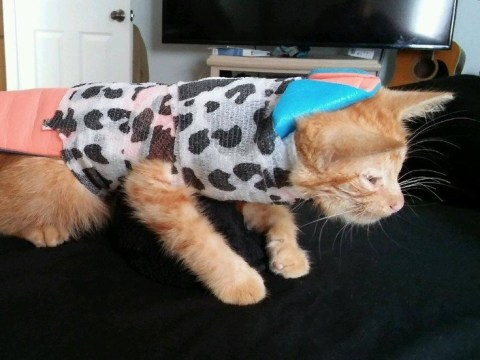 After weeks of physical therapy, a stray kitten found with a broken spine can finally play again