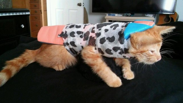 Kitten with a broken spine can finally run around again http://savannaanimalhospital.com/ http://www.cffelines.org/